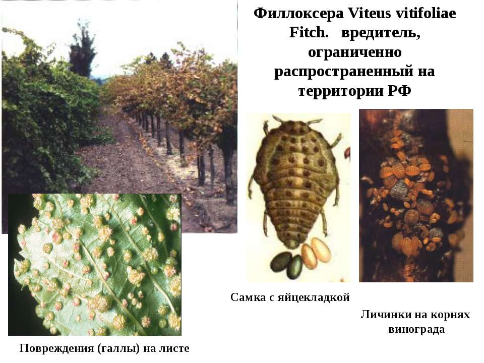 Филлоксера Viteus vitifoliae Fitch. вредитель, ограниченно распространенный н...