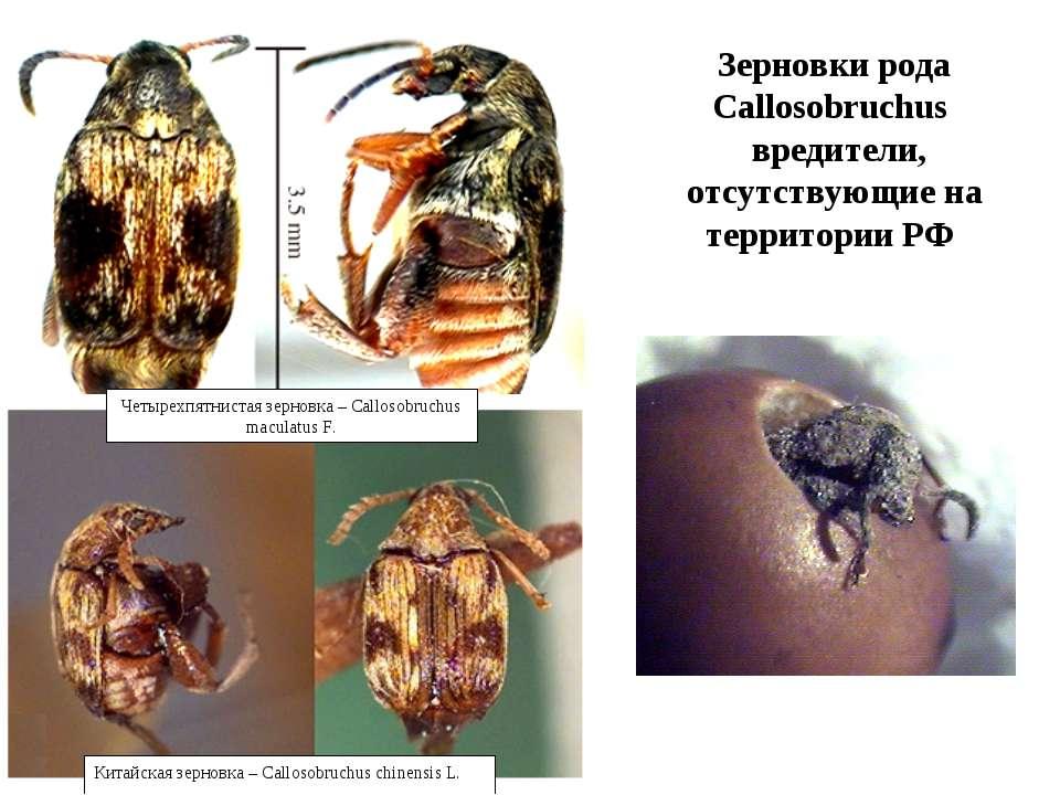 Зерновки рода Callosobruchus вредители, отсутствующие на территории РФ Четыре...
