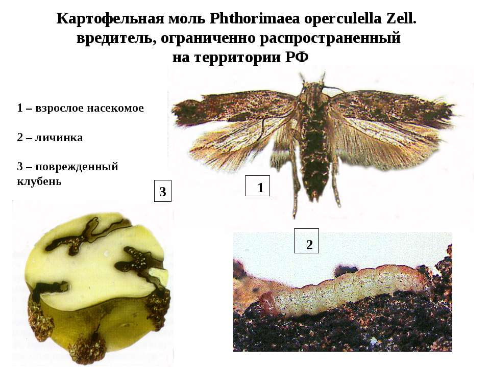 Картофельная моль Phthorimaea operculella Zell. вредитель, ограниченно распро...