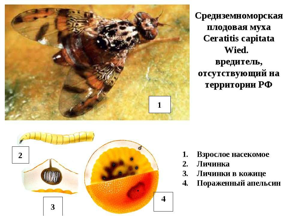 Средиземноморская плодовая муха Ceratitis capitata Wied. вредитель, отсутству...