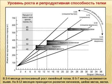 Уровень роста и репродуктивная способность телки В 2-4 месяца интенсивный рос...