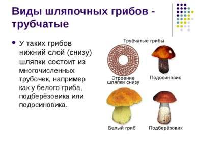 Виды шляпочных грибов - трубчатые У таких грибов нижний слой (снизу) шляпки с...