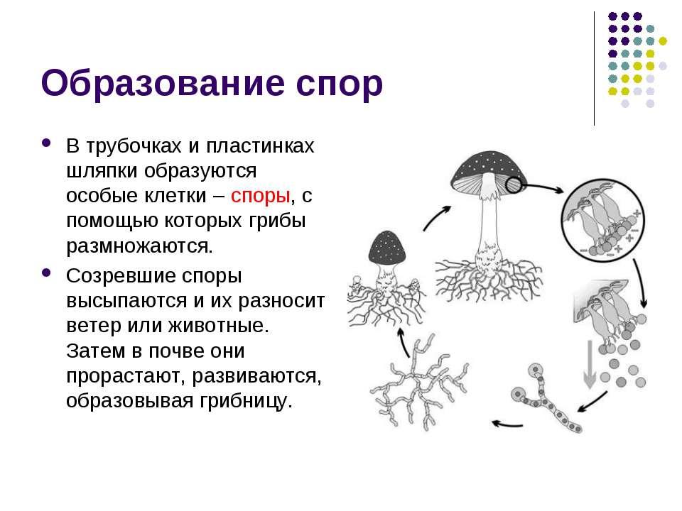 Образование спор В трубочках и пластинках шляпки образуются особые клетки – с...