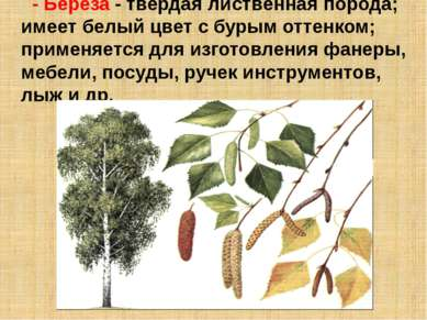 - Береза - твердая лиственная порода; имеет белый цвет с бурым оттенком; прим...