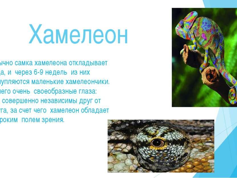 Хамелеон Обычно самка хамелеона откладывает яйца, и через 6-9 недель из них в...