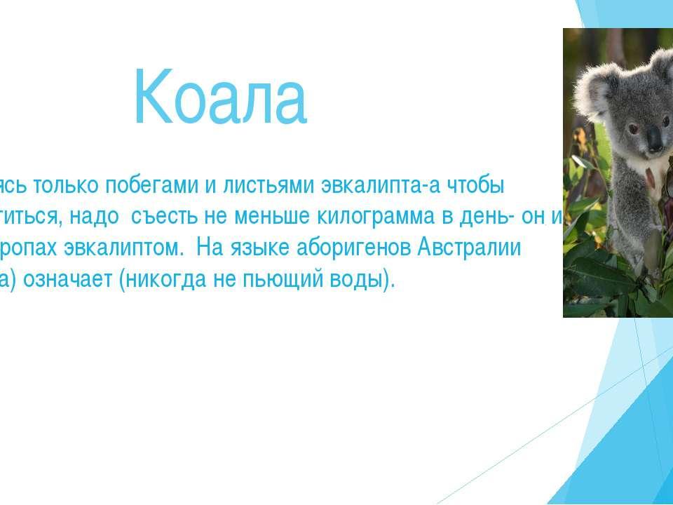 Коала Питаясь только побегами и листьями эвкалипта-а чтобы насытиться, надо с...