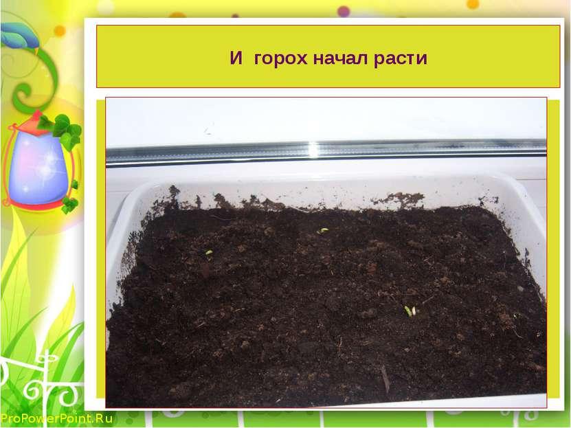 И горох начал расти ProPowerPoint.Ru
