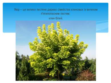 Явір – це велике листяне дерево сімейства кленовых із великим п'ятилопасним л...
