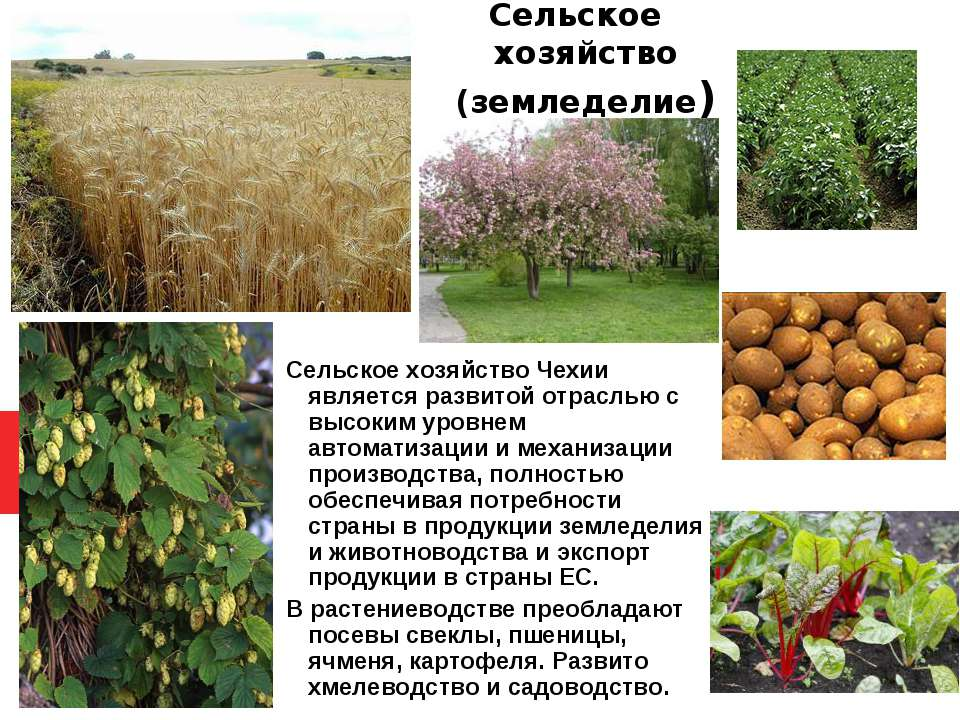 Сельское хозяйство (земледелие) Сельское хозяйство Чехии является развитой от...