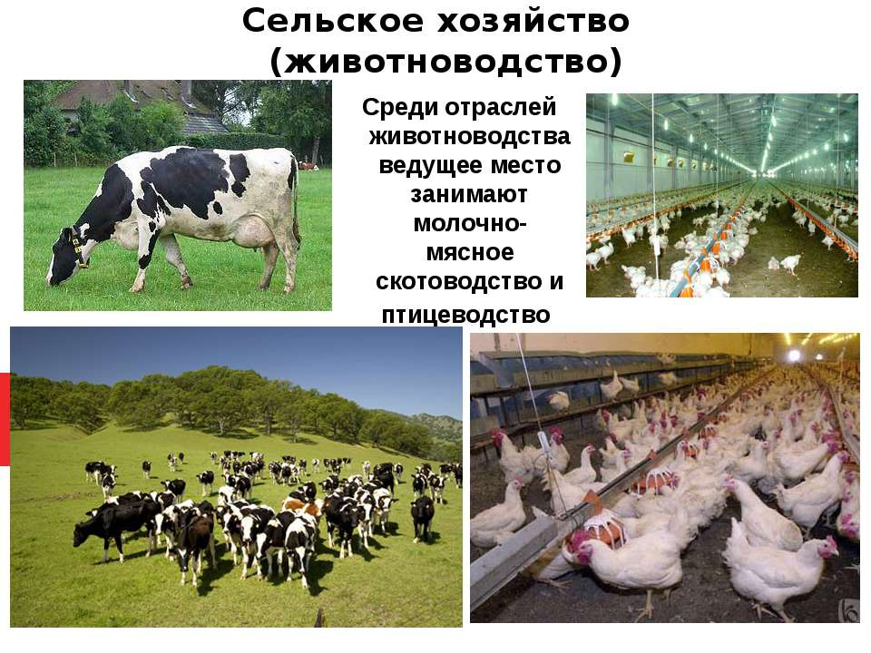 Сельское хозяйство (животноводство) Среди отраслей животноводства ведущее мес...