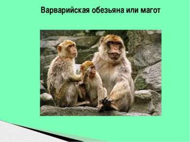 Варварийская обезьяна или магот