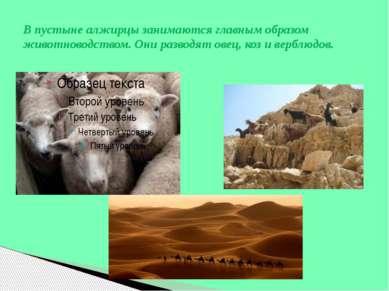 В пустыне алжирцы занимаются главным образом животноводством. Они разводят ов...