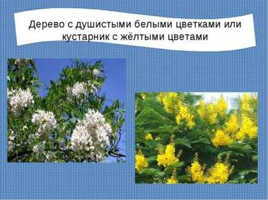 Дерево с душистыми белыми цветками или кустарник с жёлтыми цветами