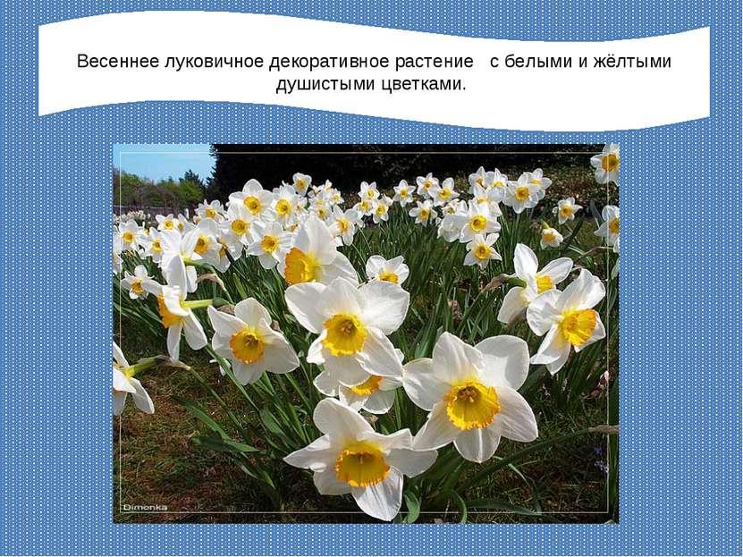 Весеннее луковичное декоративное растение с белыми и жёлтыми душистыми цветками.