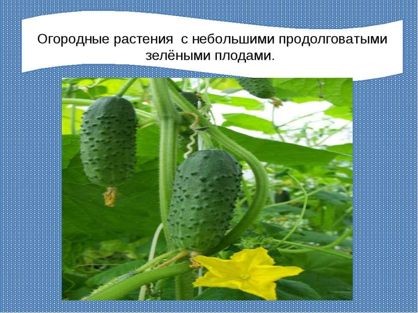 Огородные растения с небольшими продолговатыми зелёными плодами.