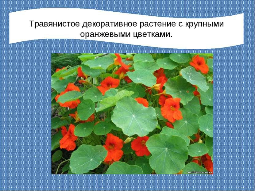 Травянистое декоративное растение с крупными оранжевыми цветками.