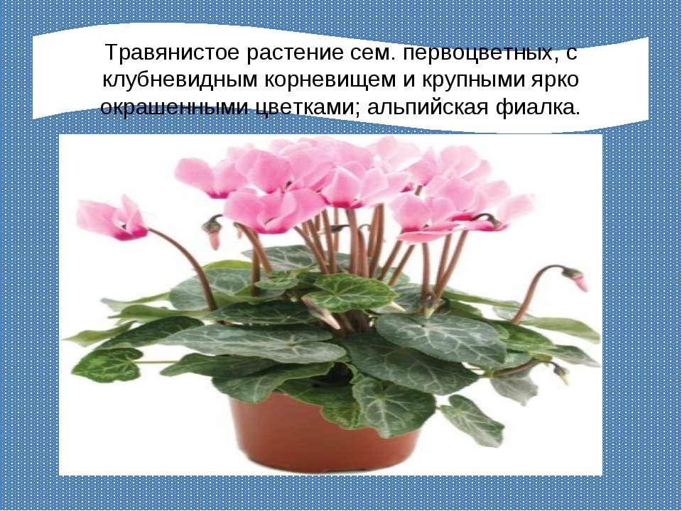 Травянистое растение сем. первоцветных, с клубневидным корневищем и крупными ...