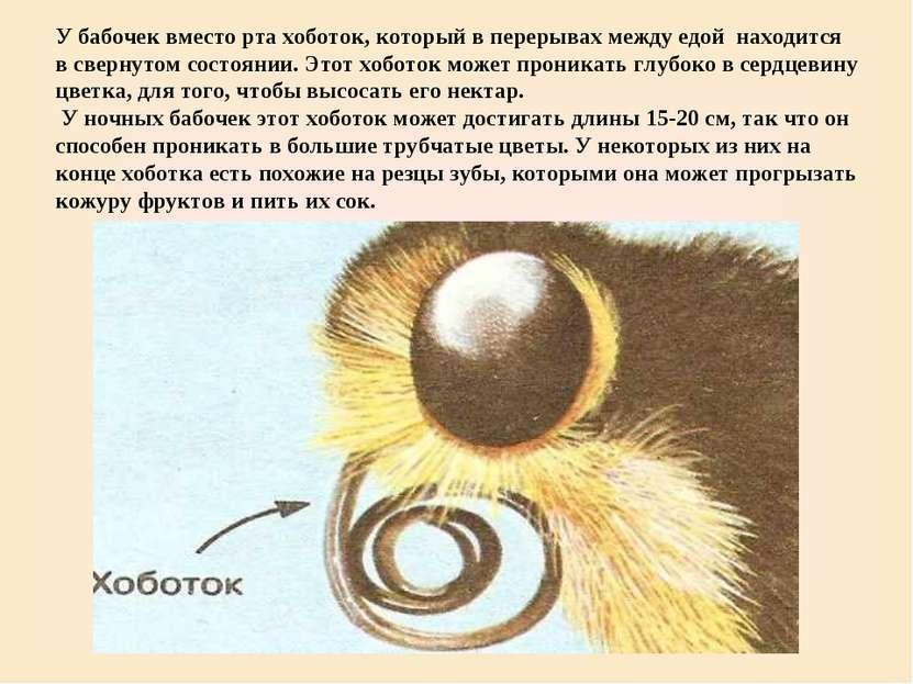 У бабочек вместо рта хоботок, который в перерывах между едой находится в свер...