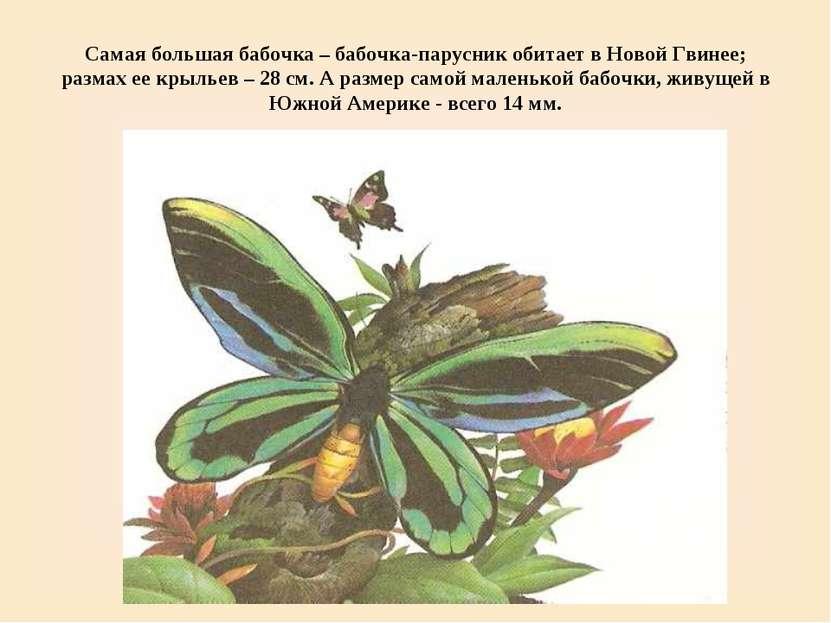Самая большая бабочка – бабочка-парусник обитает в Новой Гвинее; размах ее кр...
