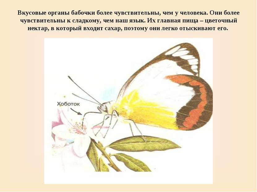 Вкусовые органы бабочки более чувствительны, чем у человека. Они более чувств...