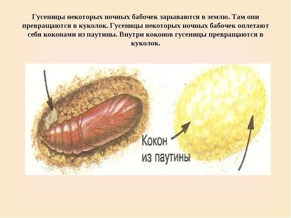 Гусеницы некоторых ночных бабочек зарываются в землю. Там они превращаются в ...