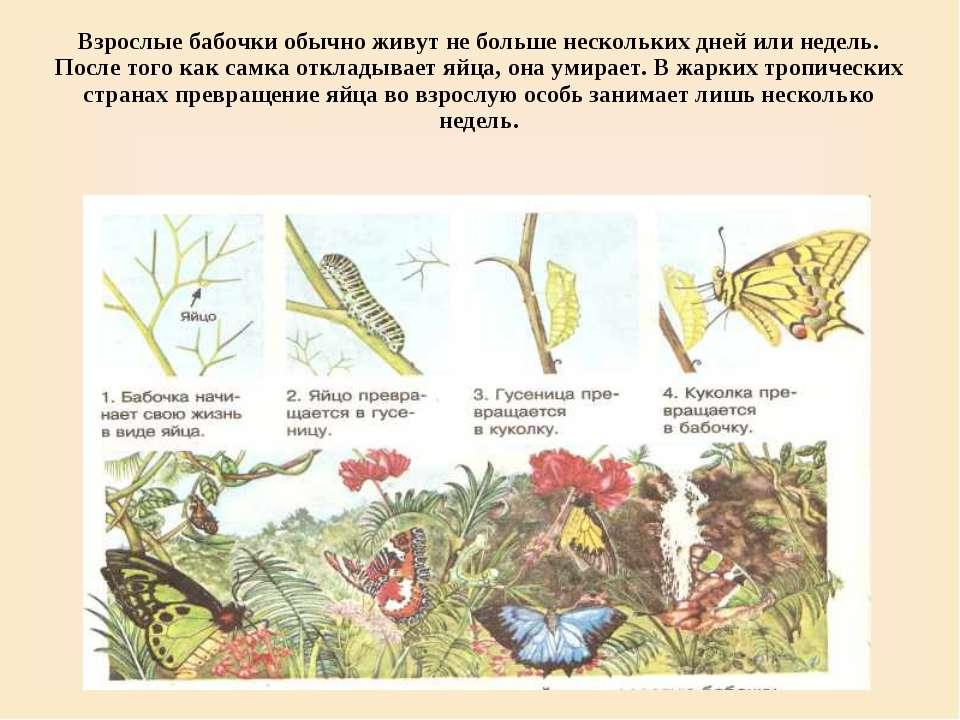 Взрослые бабочки обычно живут не больше нескольких дней или недель. После тог...