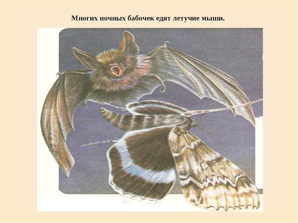 Многих ночных бабочек едят летучие мыши.
