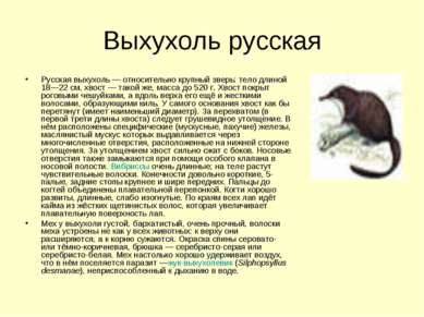 Выхухоль русская Русская выхухоль— относительно крупный зверь: тело длиной 1...