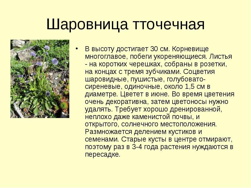 Шаровница тточечная В высоту достигает 30 см. Корневище многоглавое, побеги у...
