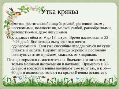 Утка кряква Кормится растительной пищей: ряской, роголистником , насекомыми, ...