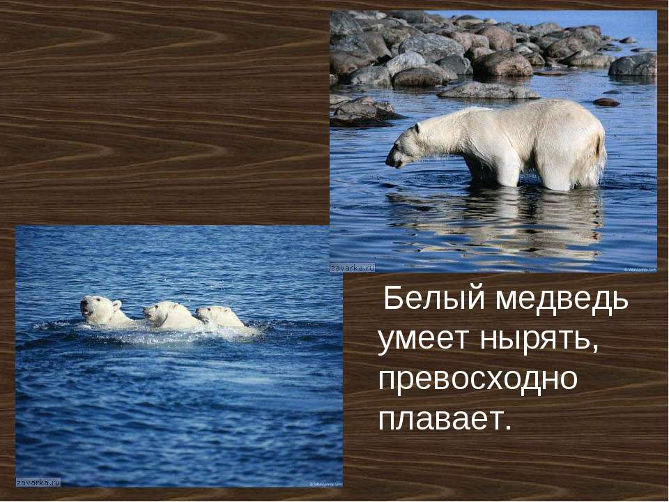 Белый медведь умеет нырять, превосходно плавает.