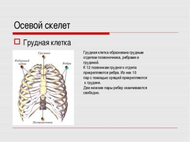 Осевой скелет Грудная клетка Грудная клетка образована грудным отделом позвон...