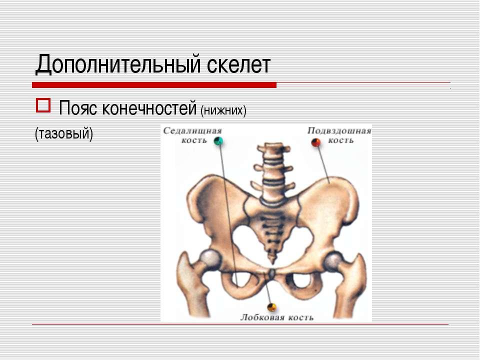 Дополнительный скелет Пояс конечностей (нижних) (тазовый)