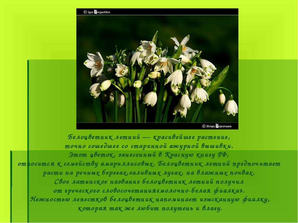 Белоцветник летний — красивейшее растение, точно сошедшее со старинной ажурно...