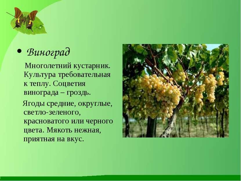 Виноград Многолетний кустарник. Культура требовательная к теплу. Соцветия вин...