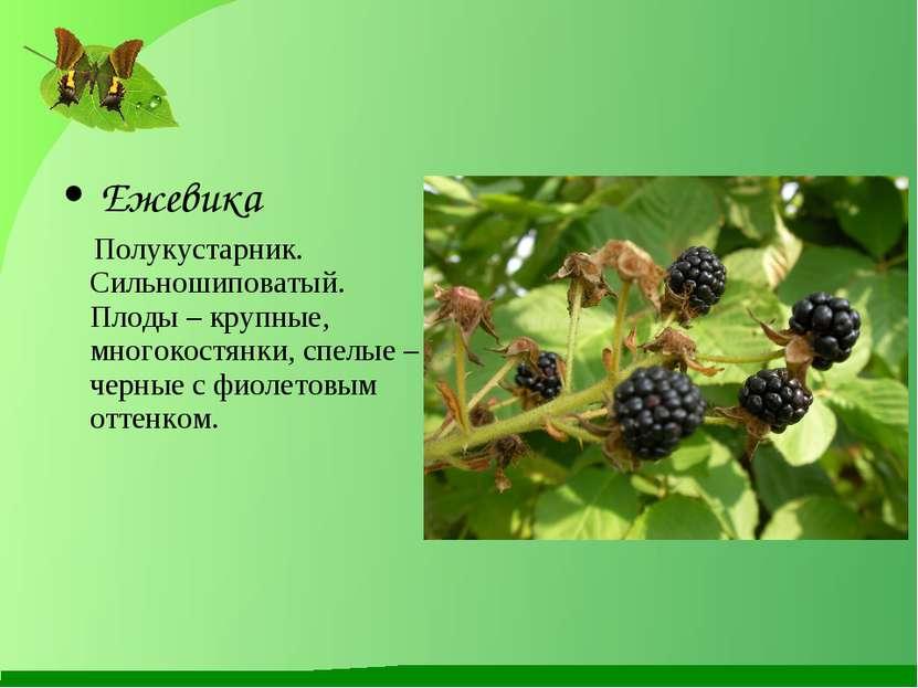 Ежевика Полукустарник. Сильношиповатый. Плоды – крупные, многокостянки, спелы...