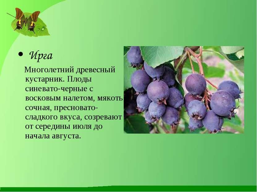 Ирга Многолетний древесный кустарник. Плоды синевато-черные с восковым налето...