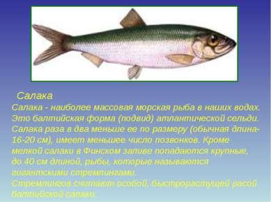 Салака Салака - наиболее массовая морская рыба в наших водах. Это балтийская ...