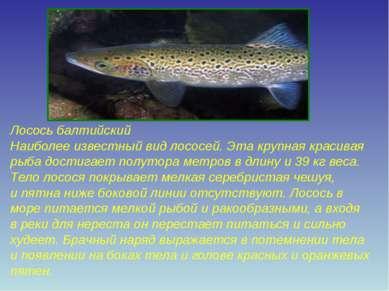 Лосось балтийский Наиболее известный вид лососей. Эта крупная красивая рыба д...
