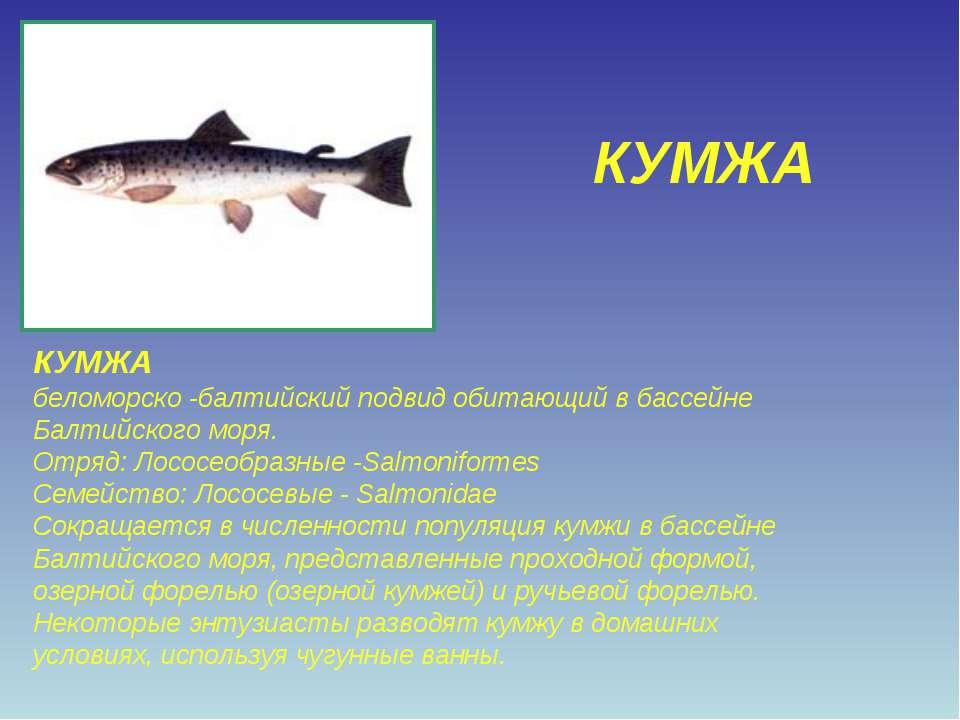 КУМЖА КУМЖА беломорско -балтийский подвид обитающий в бассейне Балтийского мо...