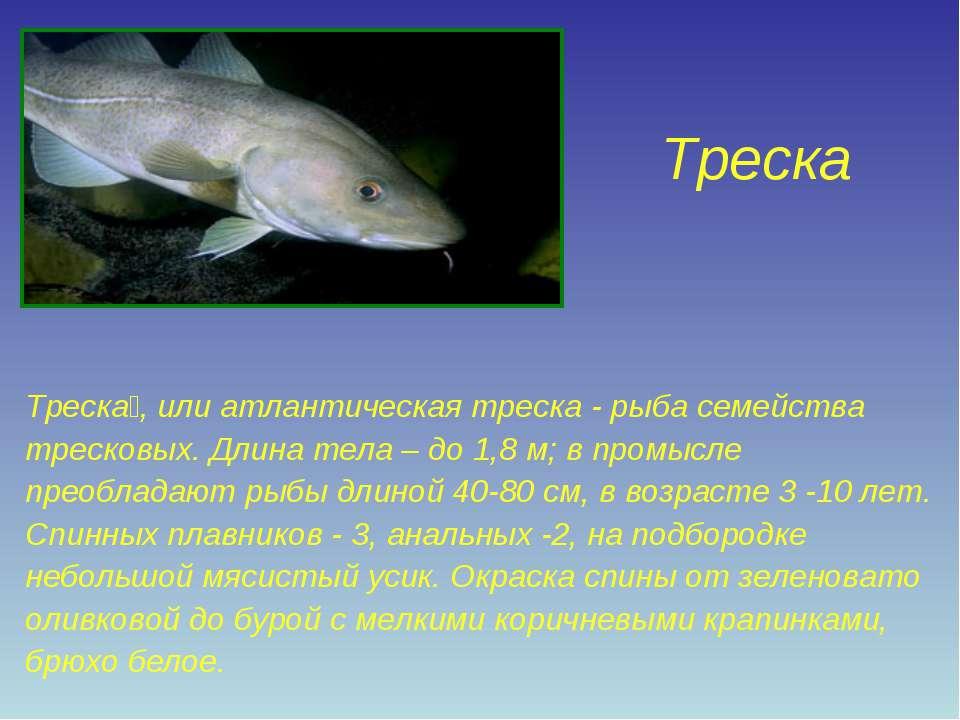 Треска Треска , или атлантическая треска - рыба семейства тресковых. Длина те...
