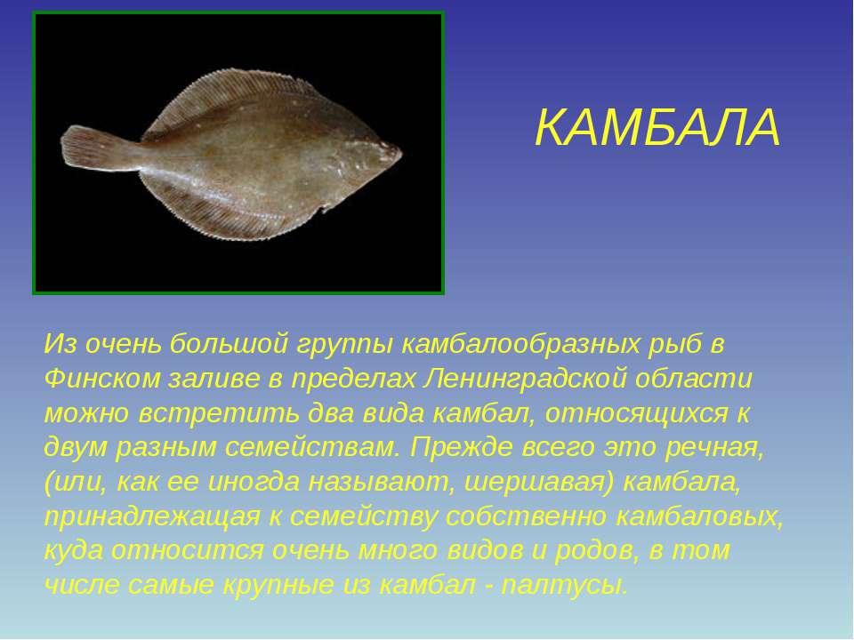 КАМБАЛА Из очень большой группы камбалообразных рыб в Финском заливе в предел...