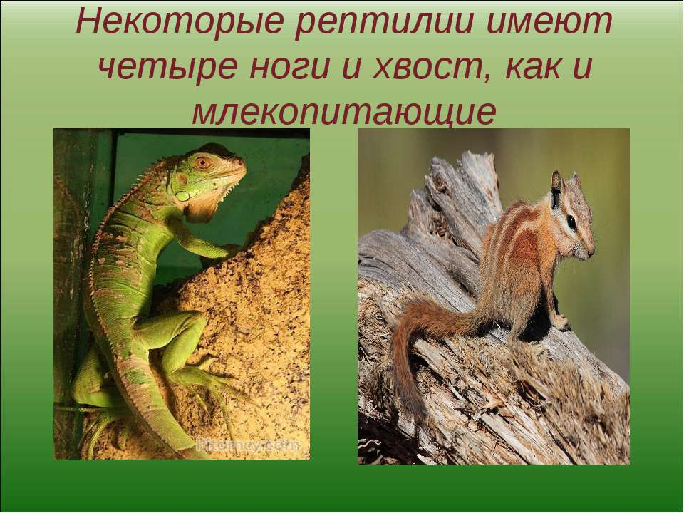 Некоторые рептилии имеют четыре ноги и хвост, как и млекопитающие