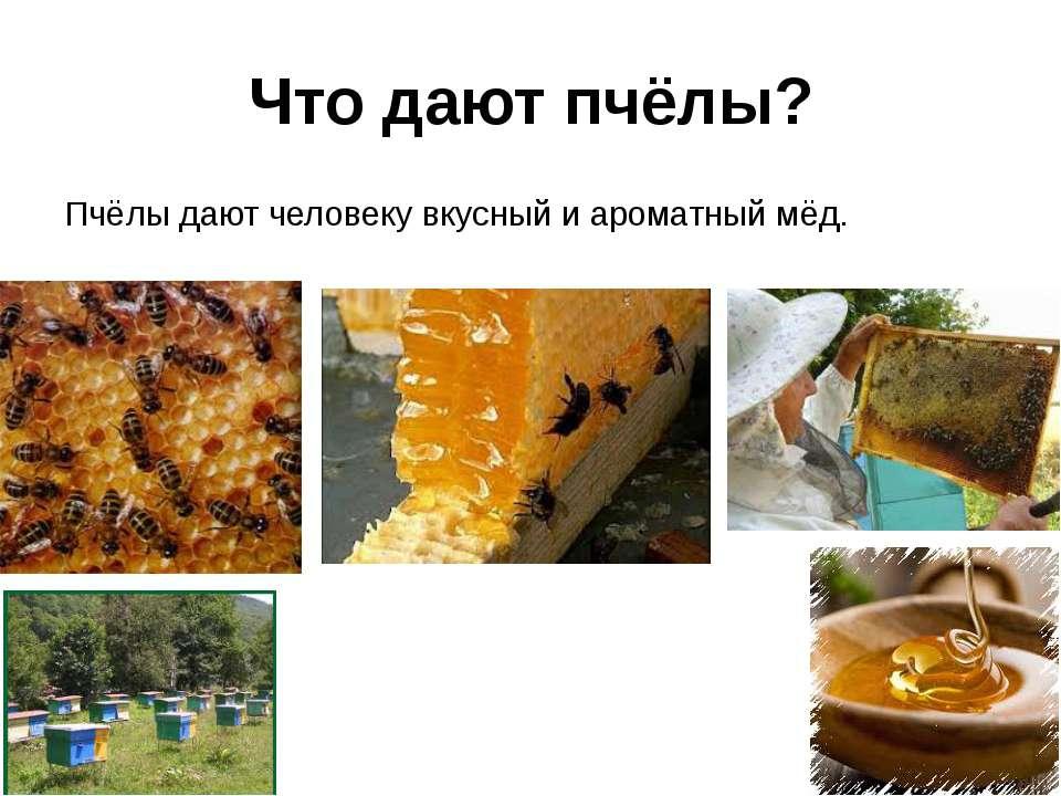 Что дают пчёлы? Пчёлы дают человеку вкусный и ароматный мёд.