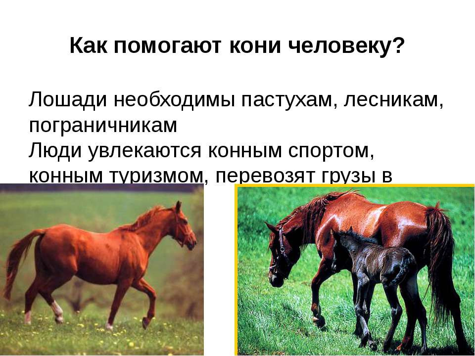 Как помогают кони человеку? Лошади необходимы пастухам, лесникам, пограничник...