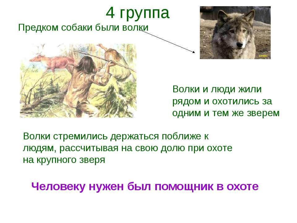 Предком собаки были волки Волки и люди жили рядом и охотились за одним и тем ...