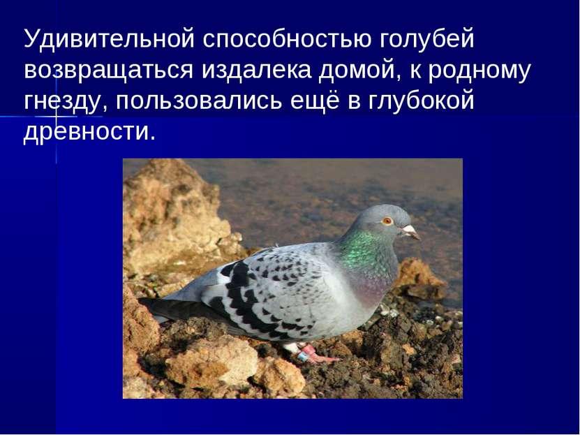 Удивительной способностью голубей возвращаться издалека домой, к родному гнез...