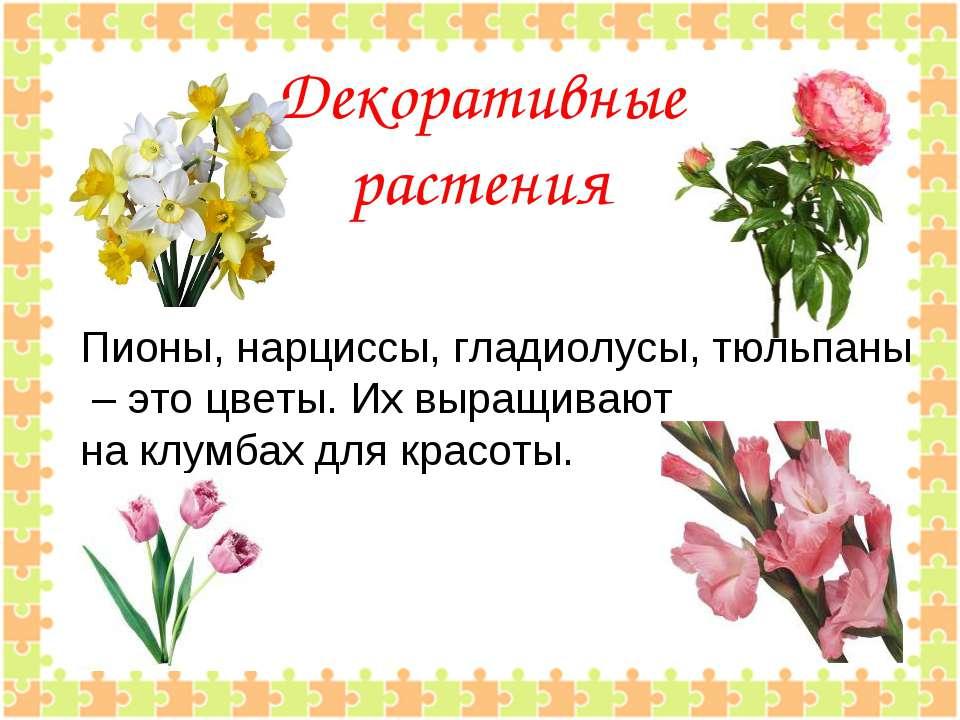 Декоративные растения Пионы, нарциссы, гладиолусы, тюльпаны – это цветы. Их в...