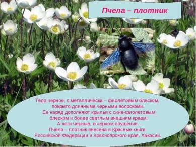 Пчела – плотник Тело черное, с металлически – фиолетовым блеском, покрыто дли...