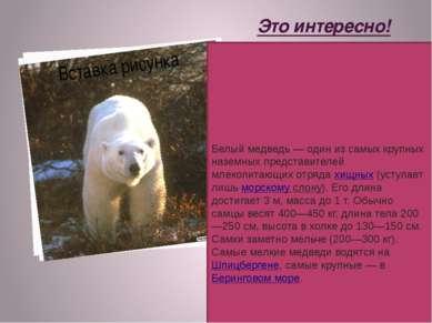 Это интересно! Белый медведь— один из самых крупных наземных представителей ...